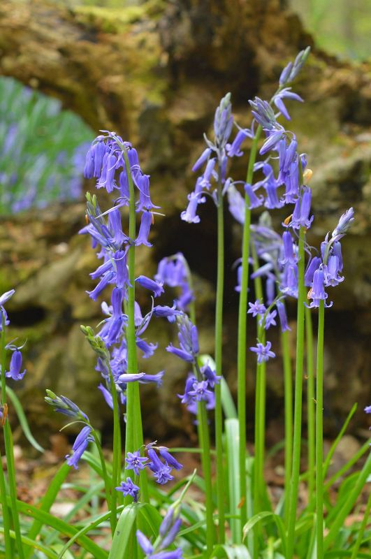Bluebells for the faeries