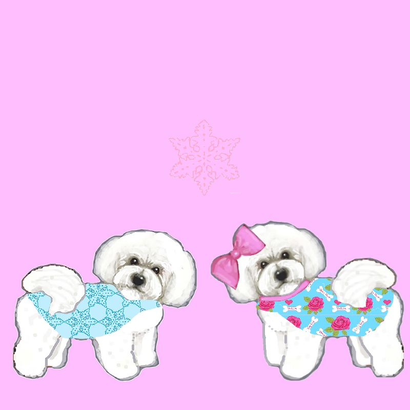 Bichon Frise with  coats