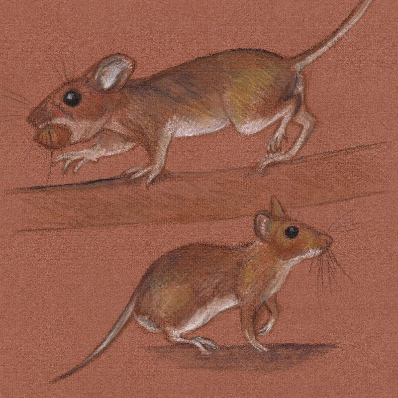 Woodmice
