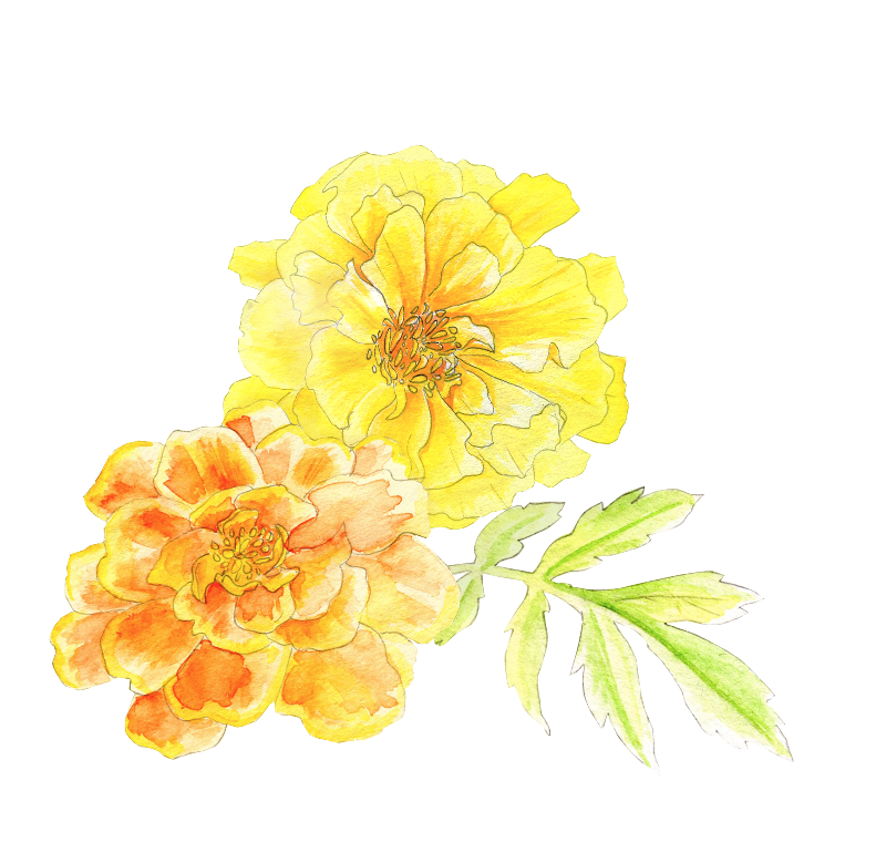 Marigolds watercolour art