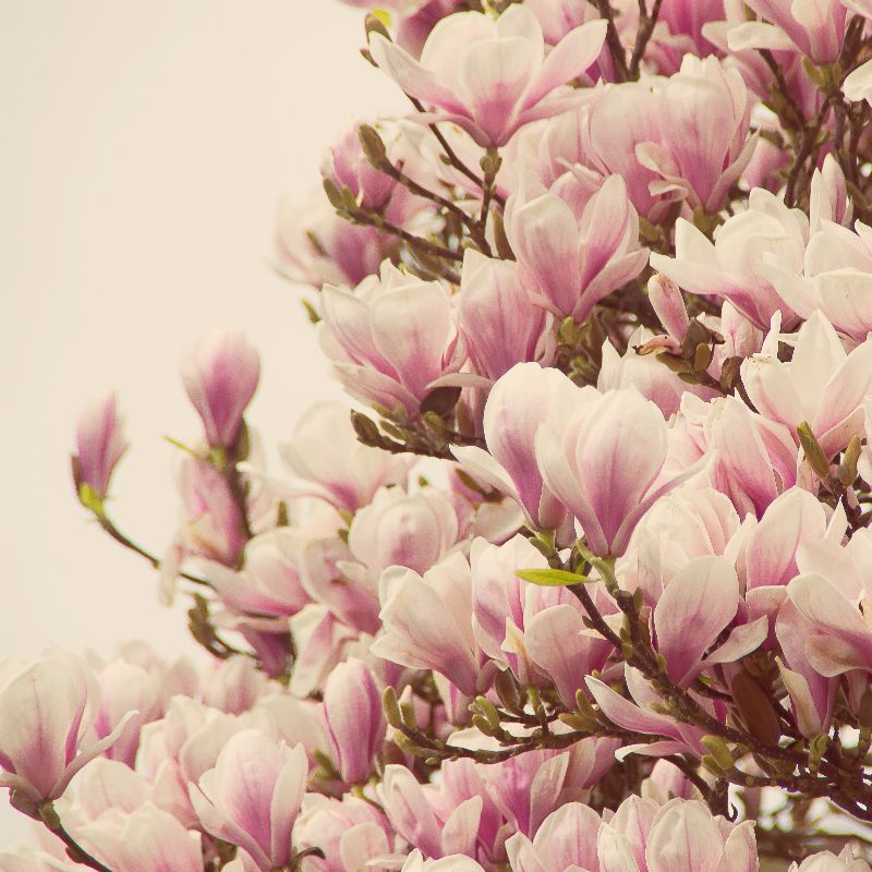 Oh Magnolia