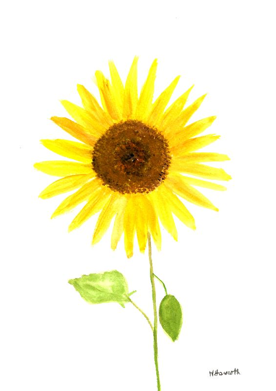Sunflower watercolour