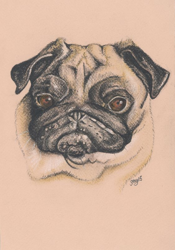 Pheebs the Pug