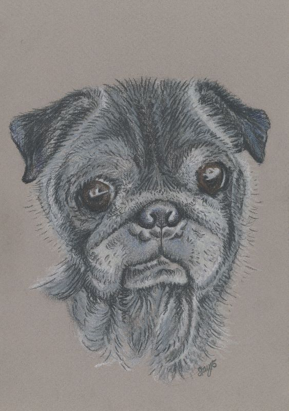 Teddy the Pug