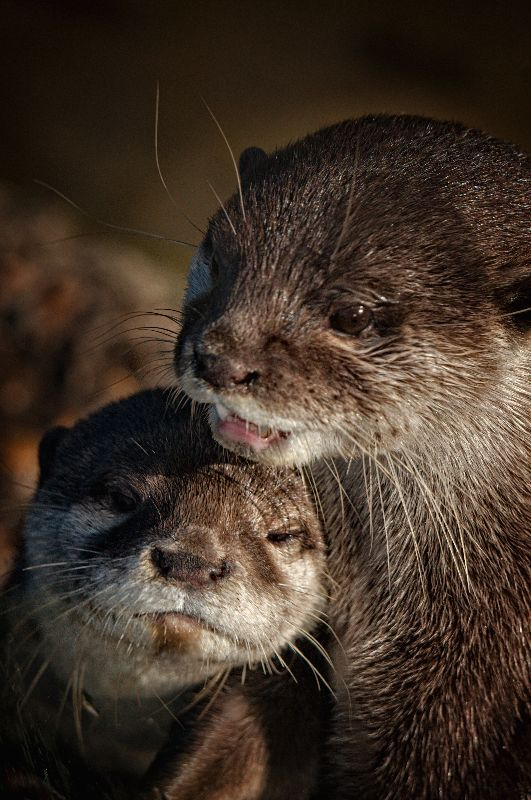 Mum And Baby Otter