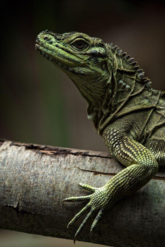 Sailfin Lizard