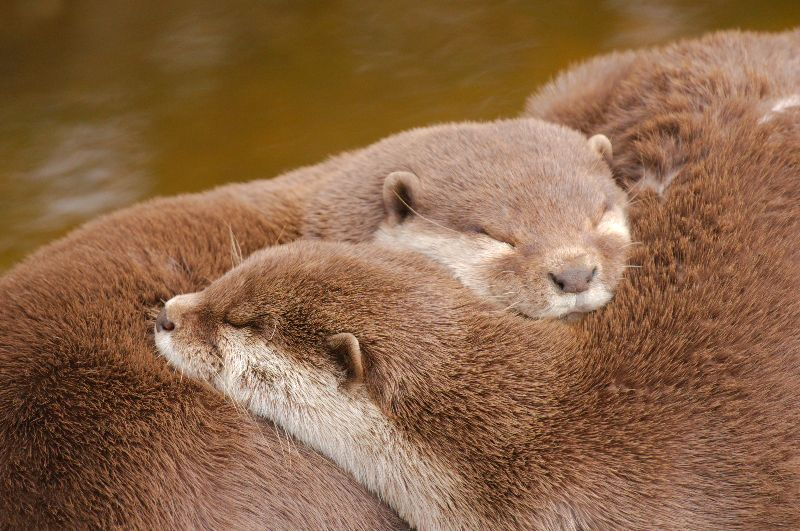 Sleepy Otters