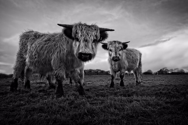 Two Shaggy Cows