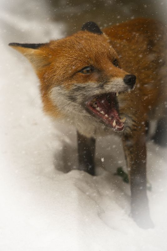 Wild Red Fox In The Snow