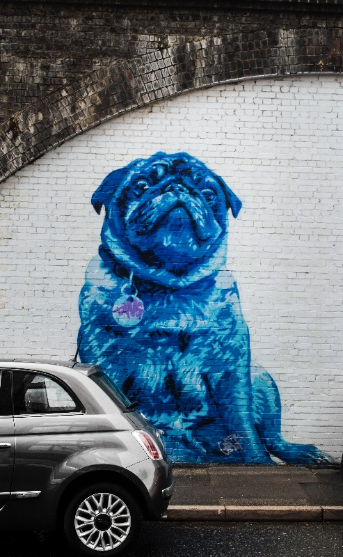 Blue Pug