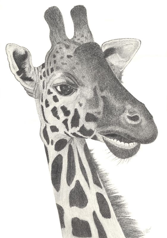 Nakuru The Giraffe