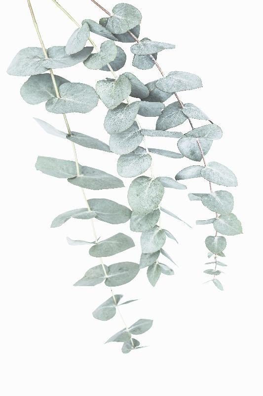 Eucalyptus 1