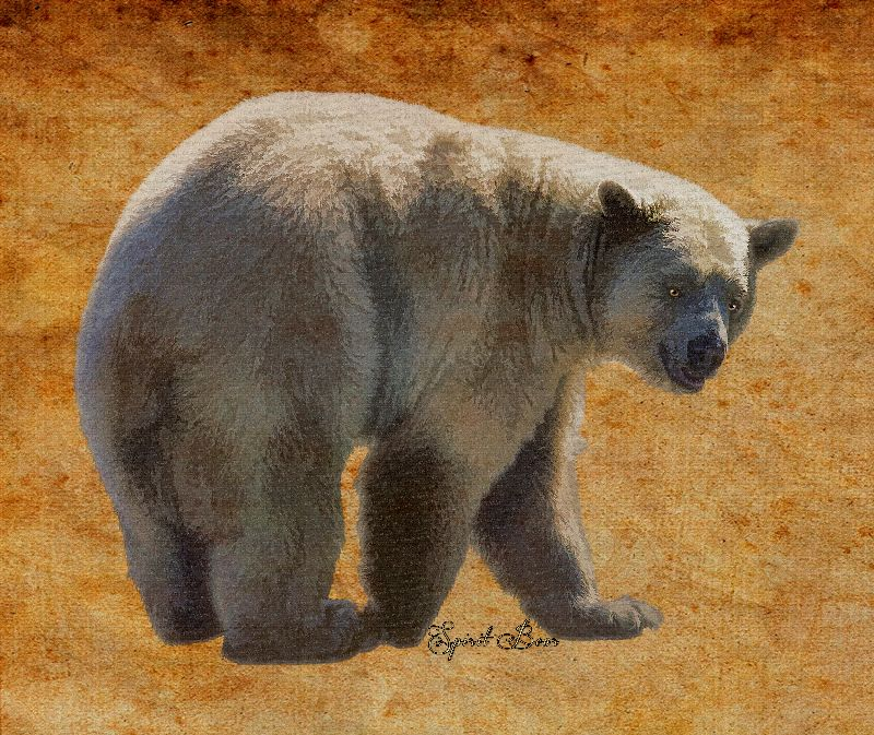 Spirit Bear on Parchment