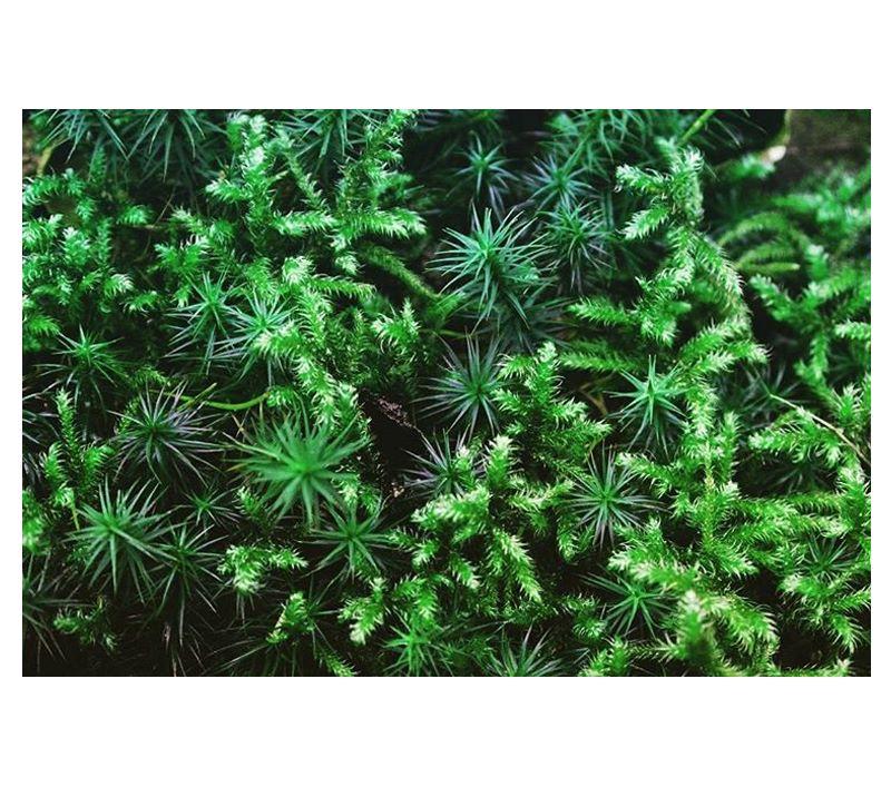 Micro Moss