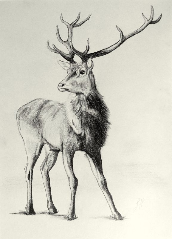 Proud Stag