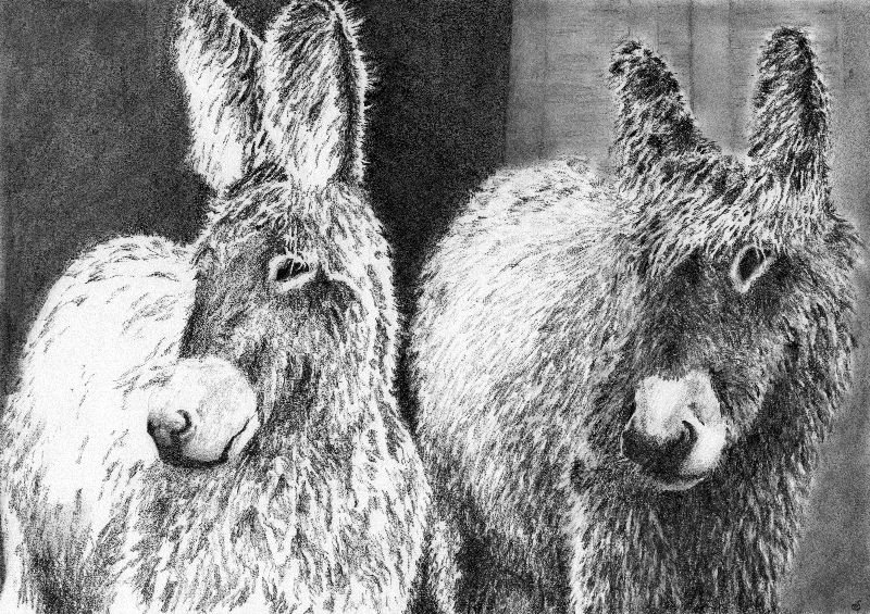 Hairy Donkeys