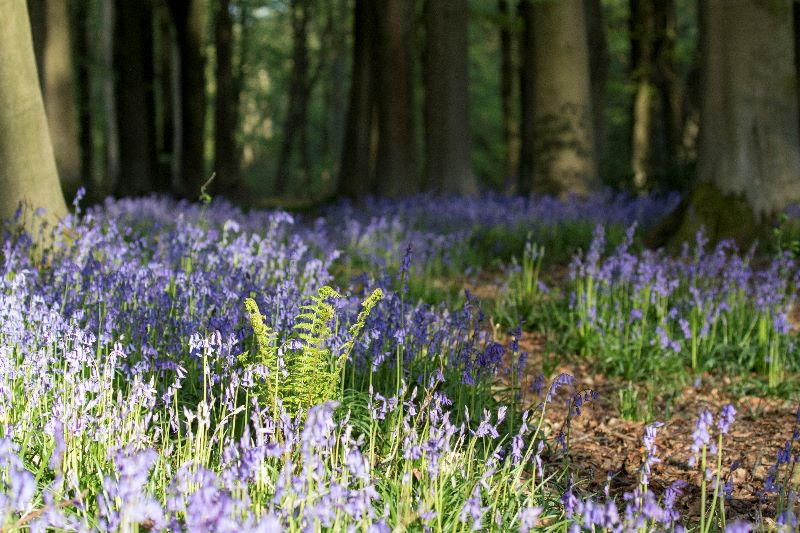 Bluebells and Fern