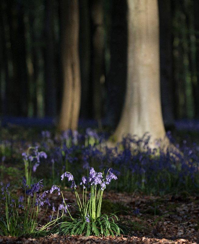 Bluebells in Light