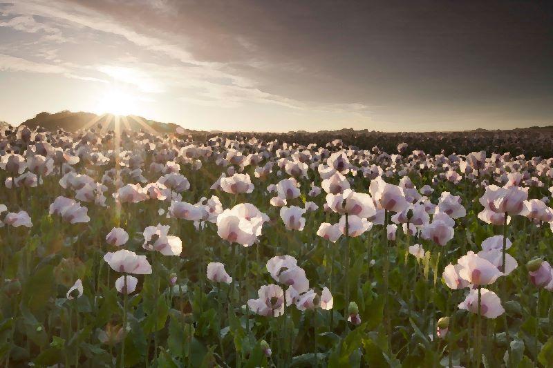 Poppey Field