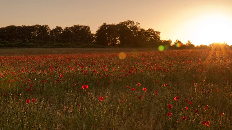 Poppies Sunset