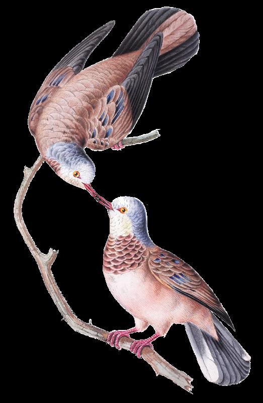 Brazil Bird3  Doves