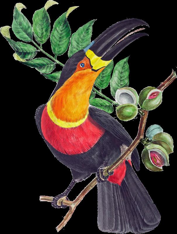 BrazilBird4  Toucan