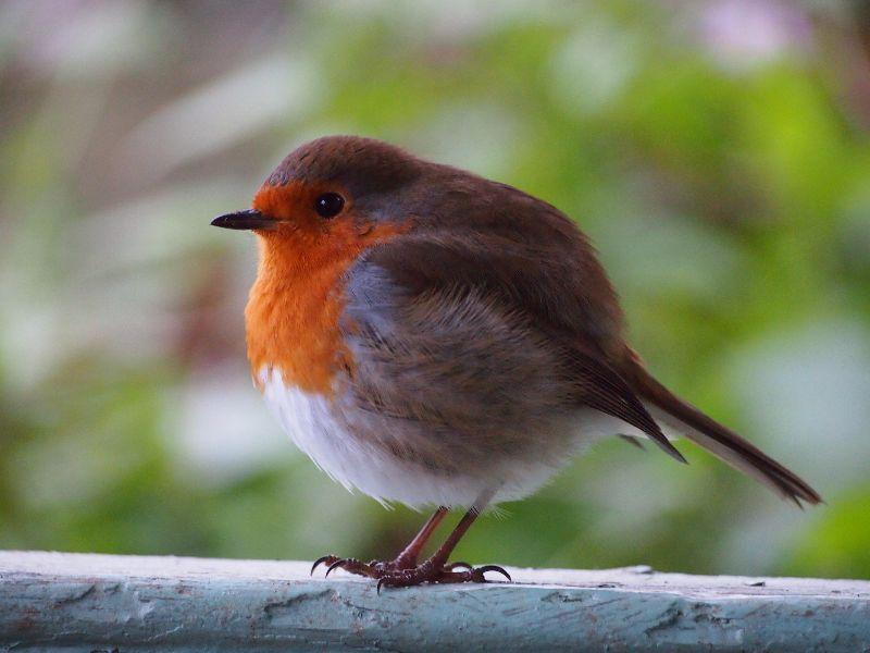 Robin puff ball