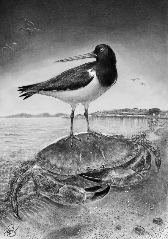 Oystercatcher and Crab