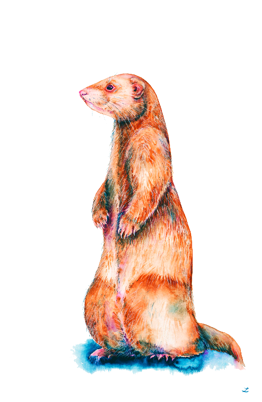 Cinnamon Ferret