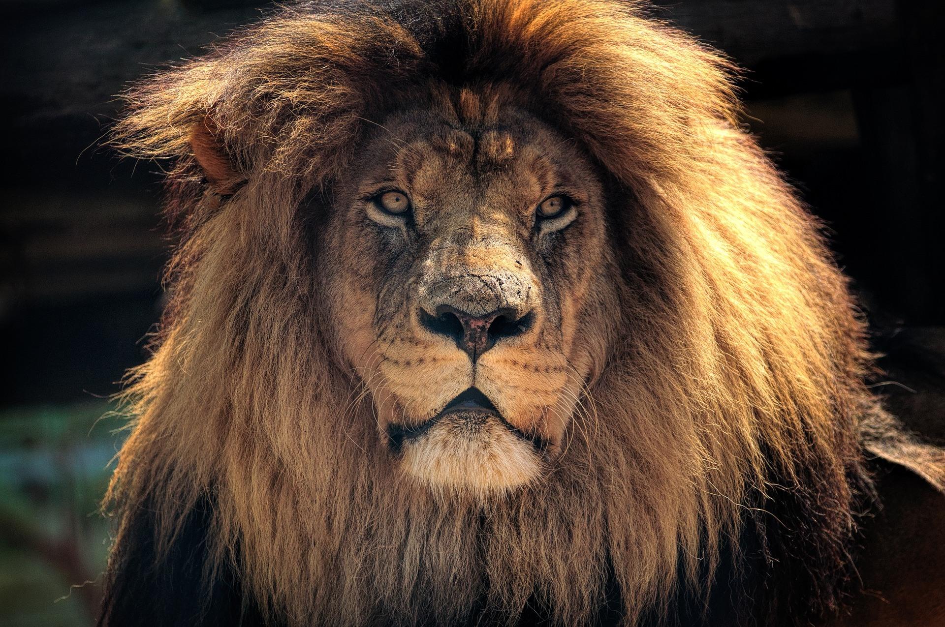 Leeuw Zuid Afrika