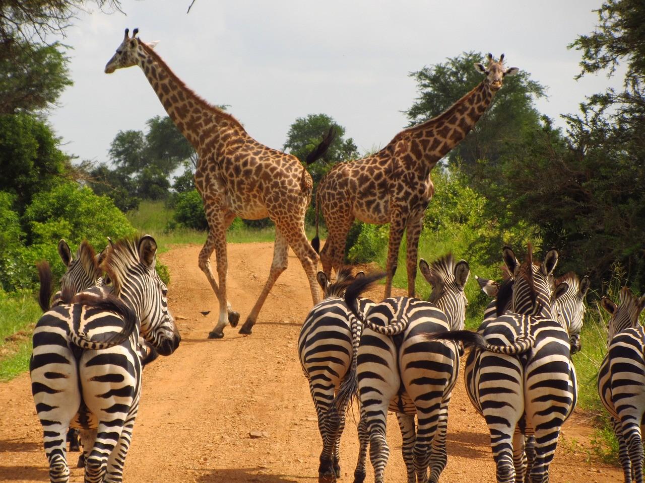 Zebra's op de weg Tanzania
