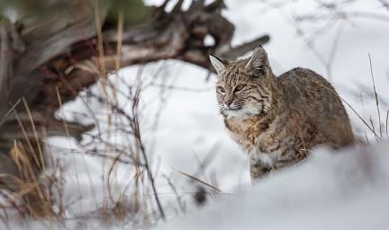Lynx in de sneeuw Oostenrijk Kirchberg